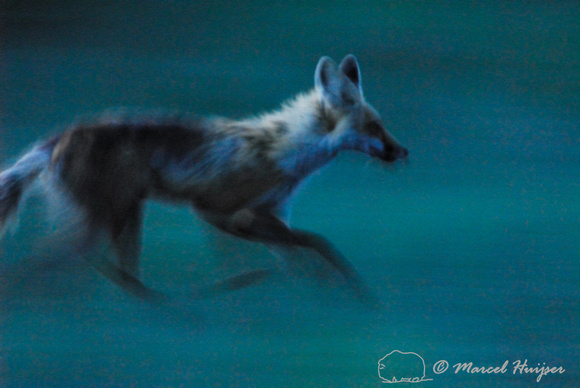 LIMITED EDITION Red fox (Vulpes vulpes) adult running at dusk, Montana, USA