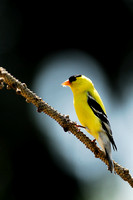 American goldfinch (Carduelis tristis), Missoula, Montana, USA