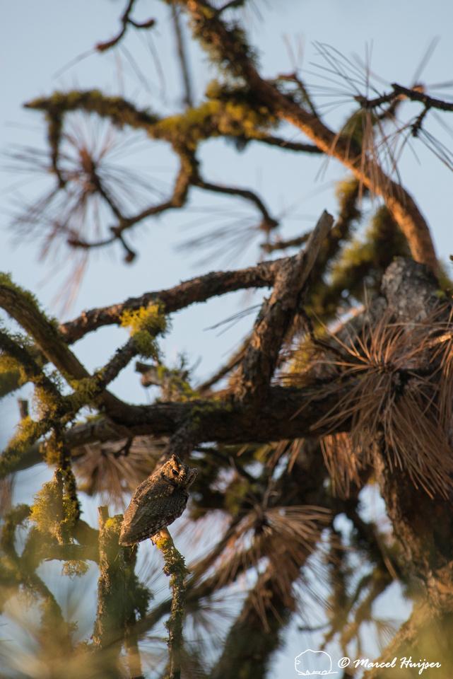 Flammulated owl (Psiloscops flammeolus), Montana, USA