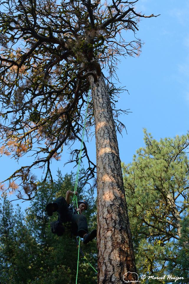 Adam Eckert climbs tree to inspect chicks of flammulated owl (Psiloscops flammeolus), Montana, USA