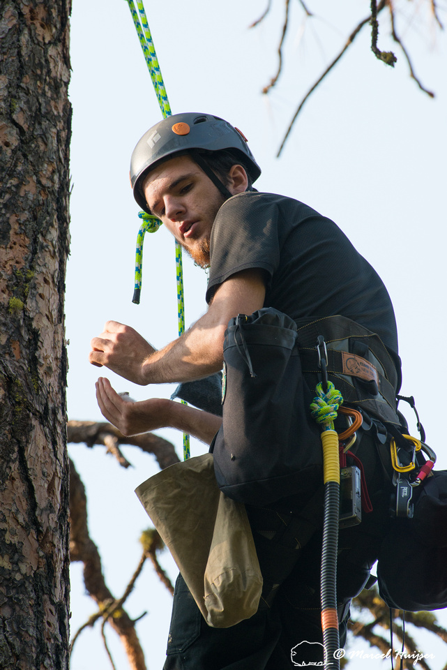 Adam Eckert climbs tree to weigh chicks of flammulated owl (Psil