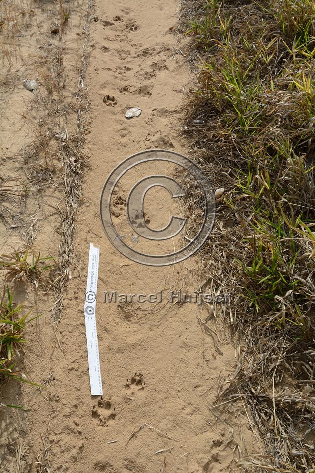 Tracks of maned wolf (Chrysocyon brachyurus) on dirt road, Itirapina Ecological Research Station (Estação Ecológica de Itirapina), near Itirapina, São Paulo, Brazil