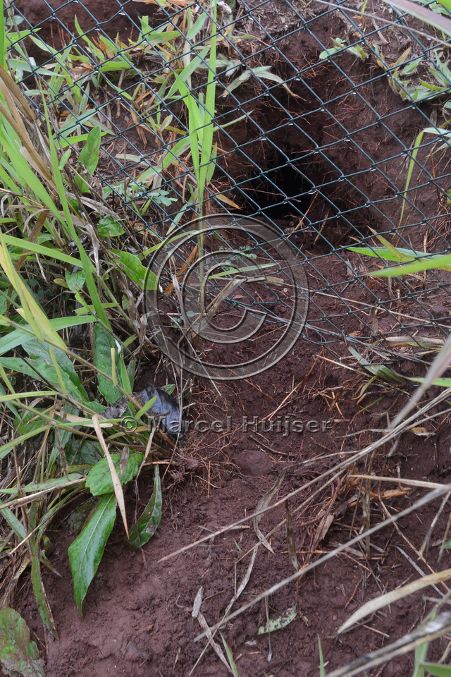An animal (probably a nine-banded armadillo (Dasypus novemcinctus)) dug a gap under a wildlife fence, burrow is visible on road side of the fence, SP-225 motorway, near Brotas, São Paulo, Brazil