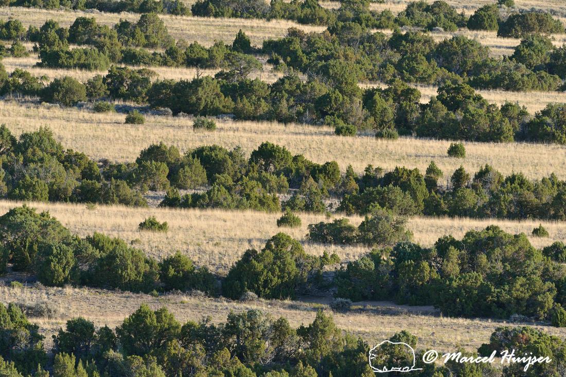 Lines of juniper (Juniperus spec.) and grassland, Bighorn Canyon National Recreation Area, Montana, USA