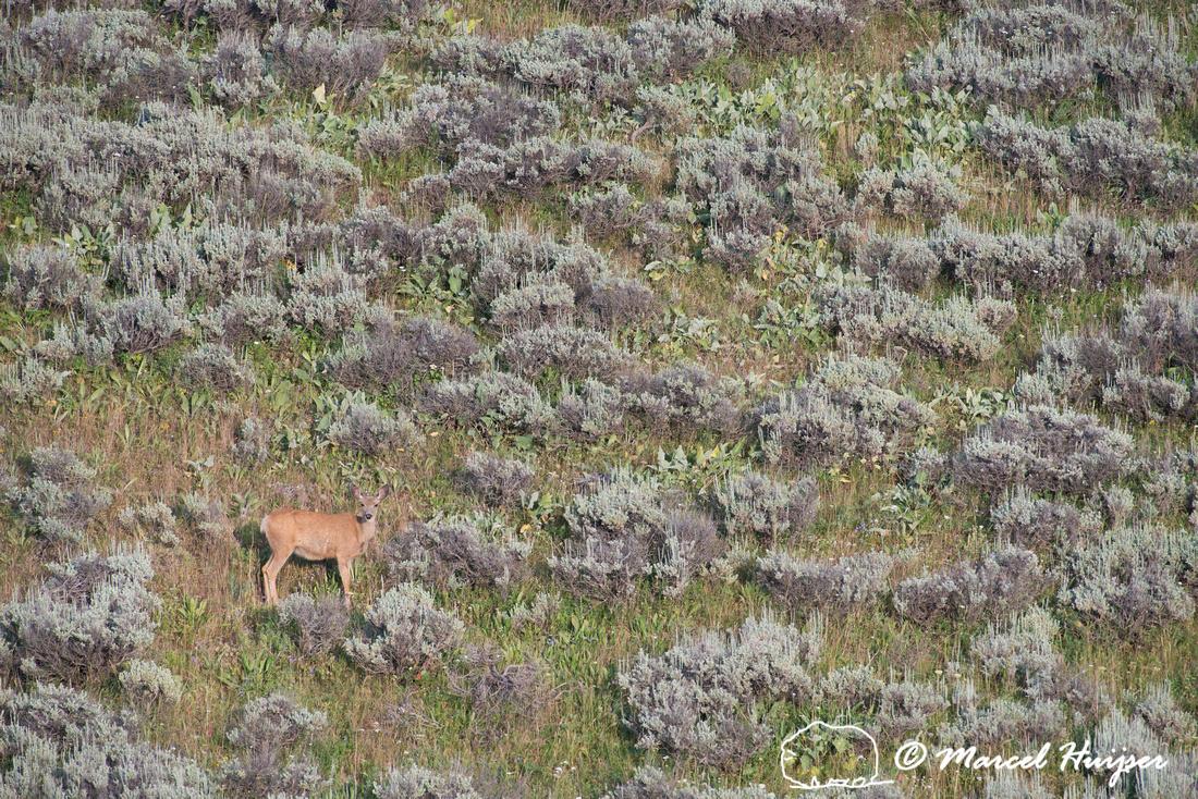 Mule deer (Odocoileus hemionus), Pryor Mountains, Montana, USA