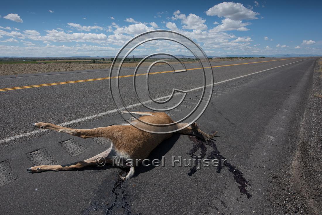Mule deer (Odocoileus hemionus) buck roadkill, Wyoming, USA