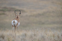 Pronghorn (Antilocapra americana) buck with eyes in the back of his head, Montana, USA