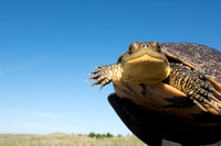 Blanding's turtle (Emydoidea blandingii) previously marked with