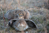Sharp-tailed grouse (Tympanuchus phasianellus), Nebraska, USA