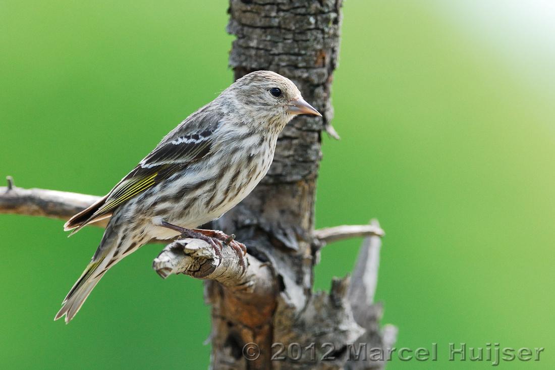Backyard wildlife: Pine siskin (Carduelis pinus), Missoula, Montana, USA