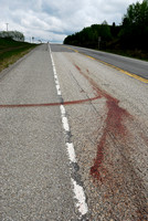 Blood stains and trail white-tailed deer (Odocoileus virginianus) doe roadkill, AB