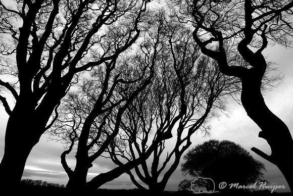 LIMITED EDITION Beech trees, Dark Hedges, Northern Ireland