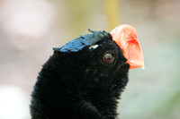 Alagoas curassow (Mitu mitu), Brazil. Captive animal. Extinct in
