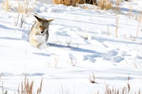 Coyote (Canis latrans) in the snow, Wyoming, USA