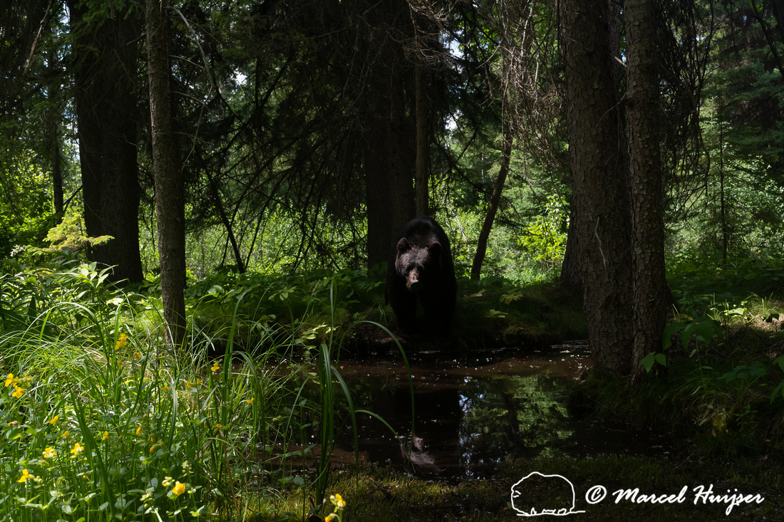 American black bear (Ursus americanus) at a pond in forest, Mont