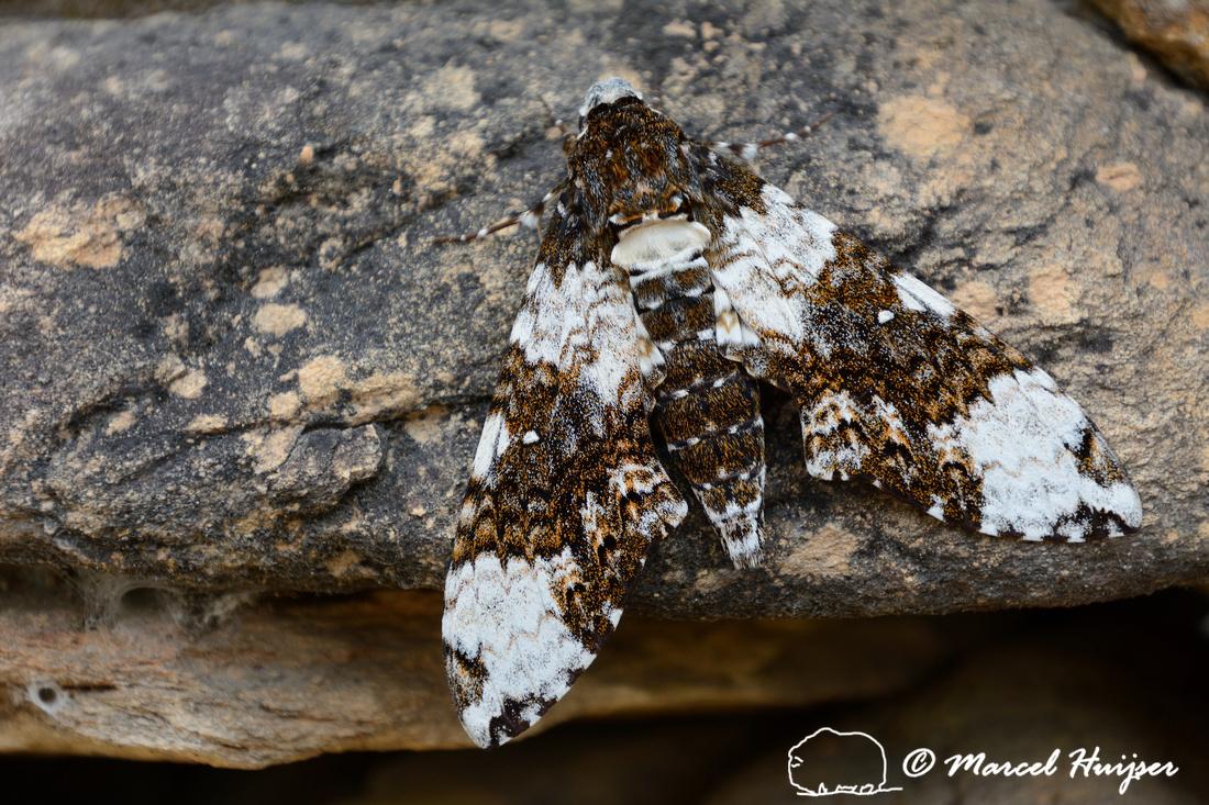 Large moth at guard station Casca d'Anta, Parque Nacional Serra da Canastra, Minas Gerais, Brazil
