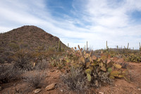 Saguaro and prickly pear, Saguaro National Park, Arizona, USA