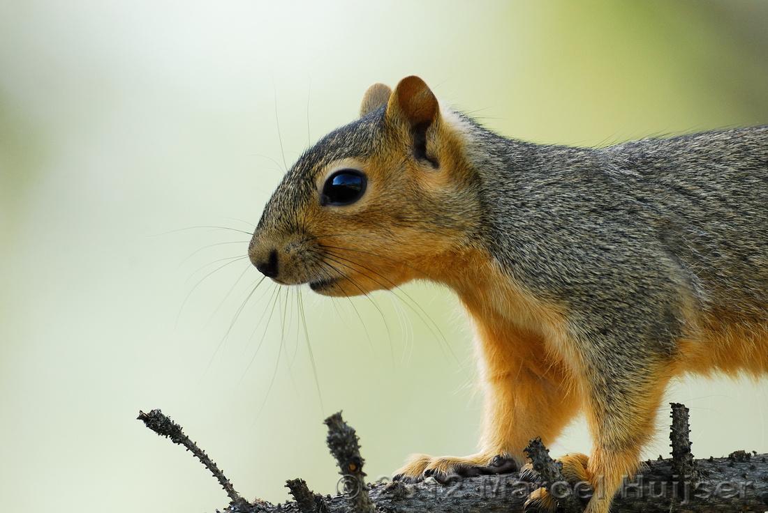 Backyard wildlife: Eastern fox squirrel (Sciurus niger), Missoula, Montana, USA