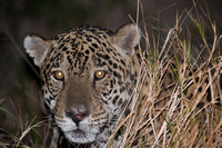 Male jaguar (Panthera onca), Pantanal, Brazil. Near threatened (