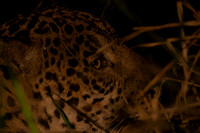 Male jaguar (Panthera onca) watching, Pantanal, Brazil. Near thr