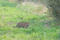 Female jaguar (Panthera onca), Pantanal, Brazil. Near threatened