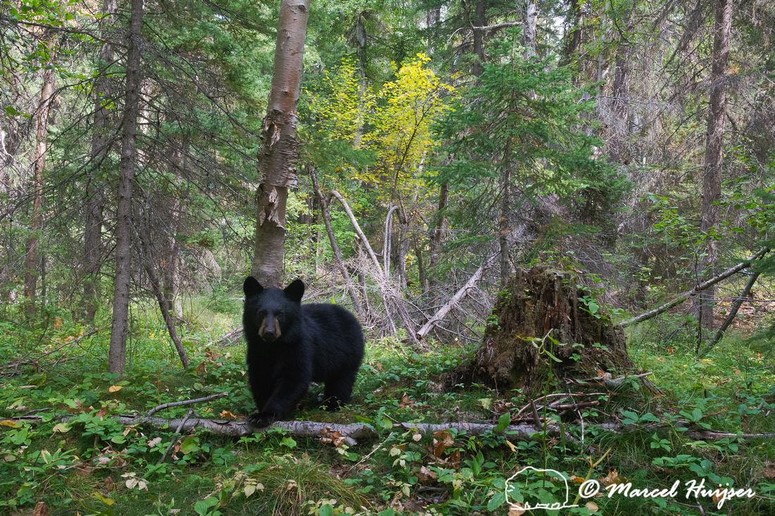 American black bear (Ursus americanus) in the forest, Montana