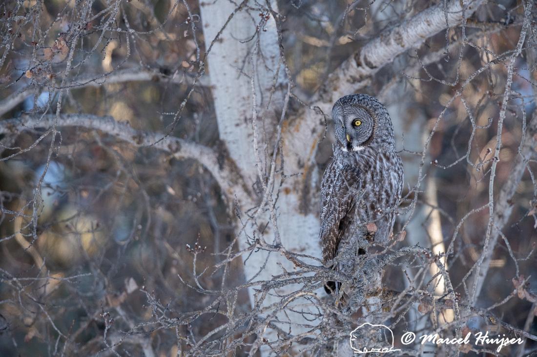 Great gray owl (Strix nebulosa), near Missoula, Montana