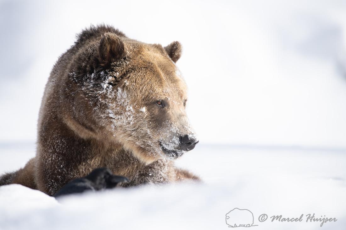 Grizzly bear (Ursus arctos) (captive animal) in winter, Montana,