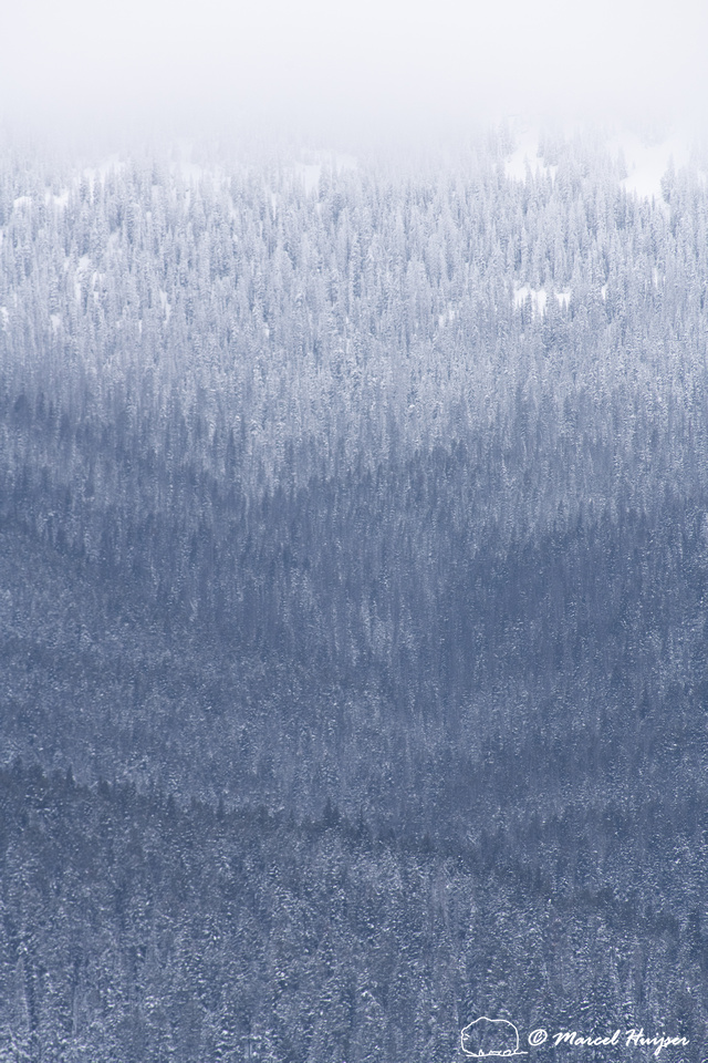 Forested slope in snow storm, Yellowstone National Park, Wyoming