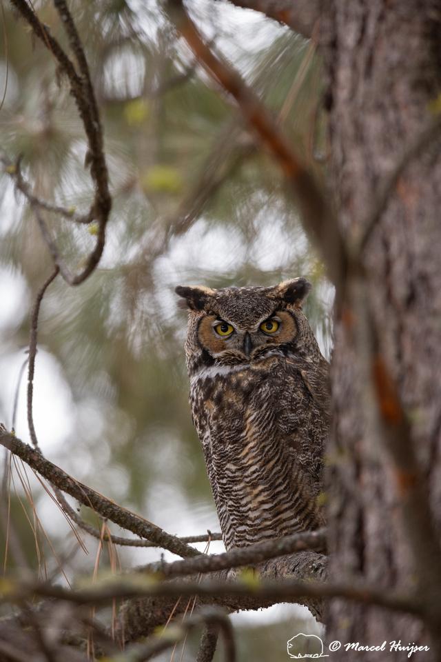 Great horned owl (Bubo virginianus), near Missoula, Montana