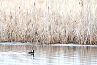 Hooded merganser (Lophodytes cucullatus) male, Lee Metcalf Natio