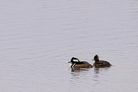 Hooded merganser (Lophodytes cucullatus) male and female, Lee Me
