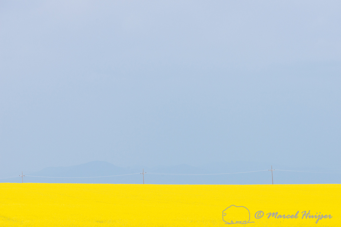 Field with yellow flowers, power line, Rocky Mountain front, and
