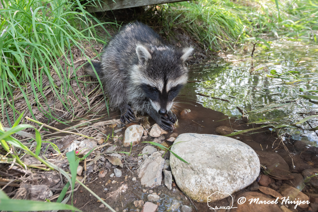 North American raccoon (Procyon lotor), Teton Wildlife Rehabilit