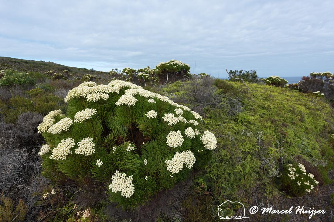 Flowering fijnbos vegetation, Cape Point, Table Mountain Nationa