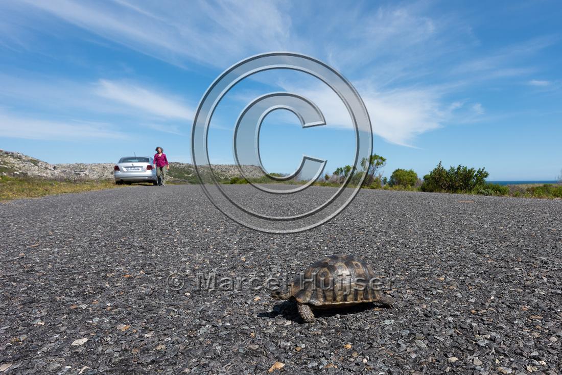 Angulate tortoise  (Chersina angulata) crossing road, Cape Point