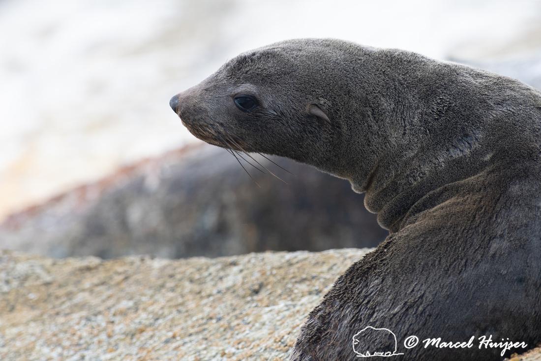 Cape fur seal (Arctocephalus pusillus), False Bay, Western Cape,