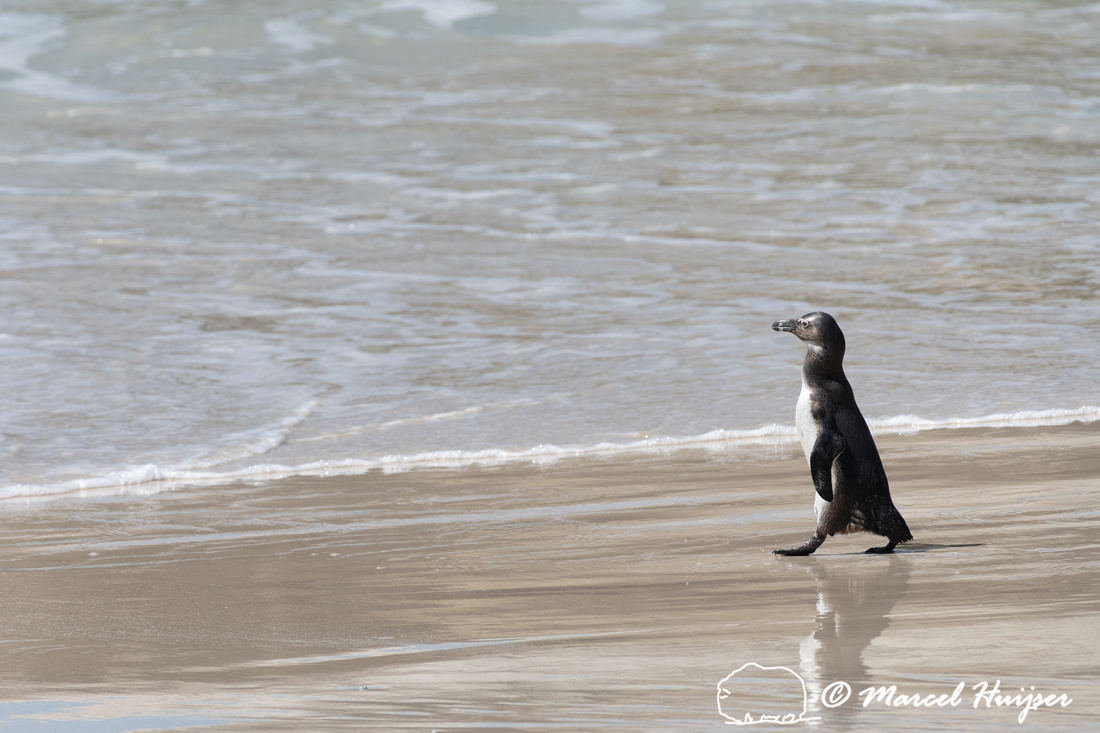 African penguin, Simon's Town, Western Cape, South Africa