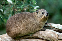Rock hyrax (Procavia capensis), Storms River, Eastern Cape, Sout