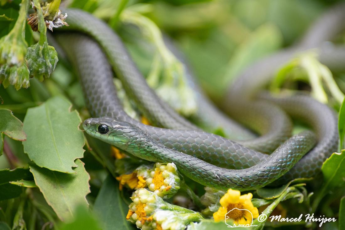 Western Natal Green Snake (Philothamnus occidentalis), Storms Ri