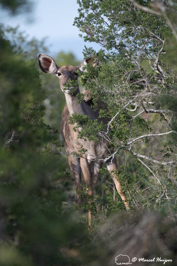 Greater kudu (Tragelaphus strepsiceros), Addo Elephant National