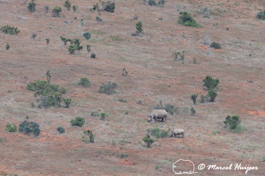 Black rhinoceros or hook-lipped rhinoceros (Diceros bicornis), A