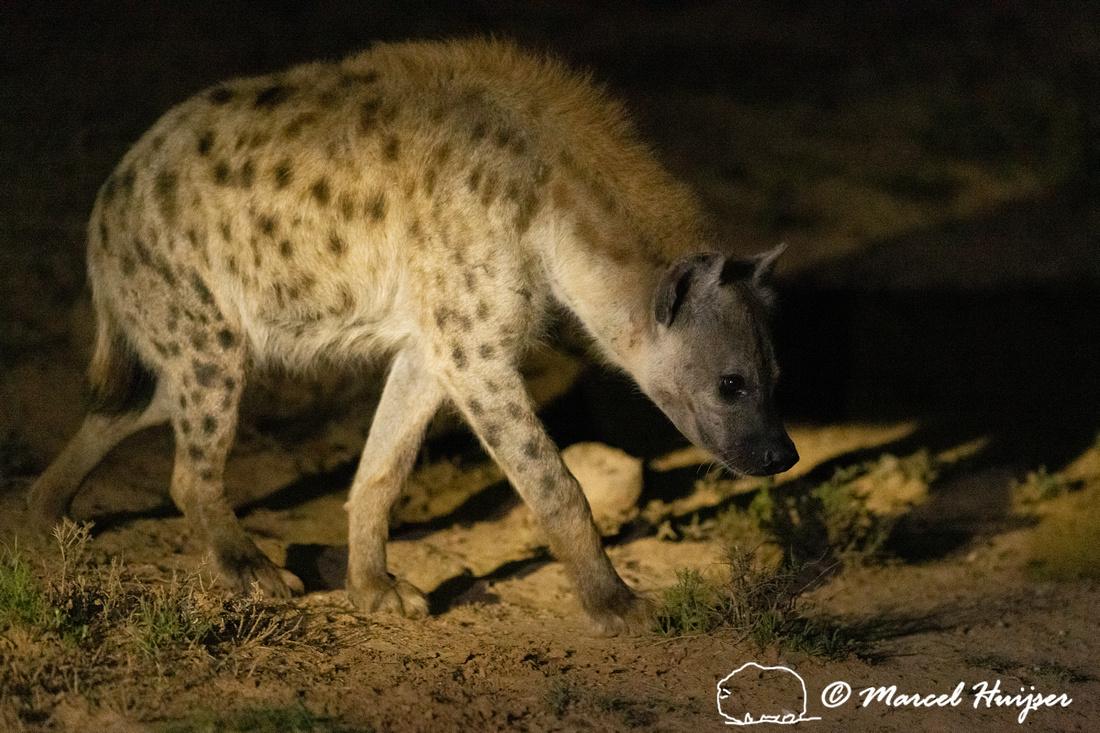 Spotted hyena (Crocuta crocuta), also known as the laughing hyen