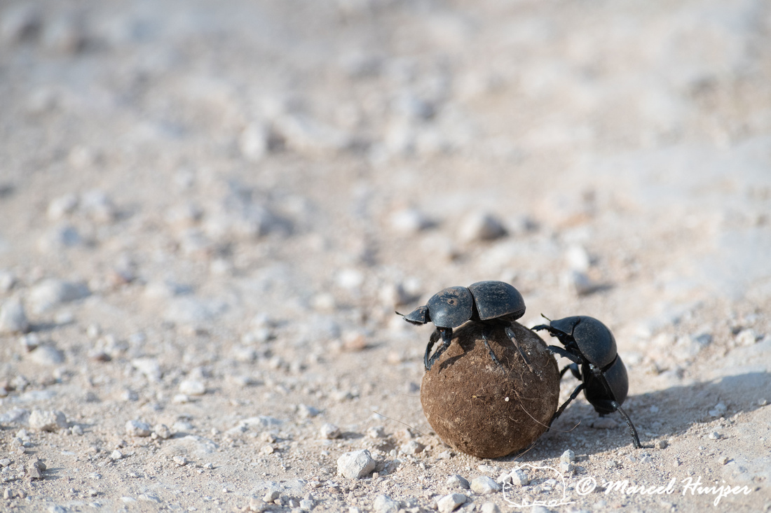 Flightless dung beetles fighting over dung ball on dirt road (Ci
