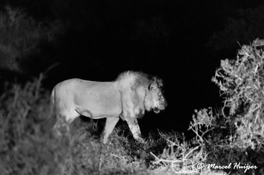 Lion (Panthera leo), Addo Elephant National Park, Eastern Cape,