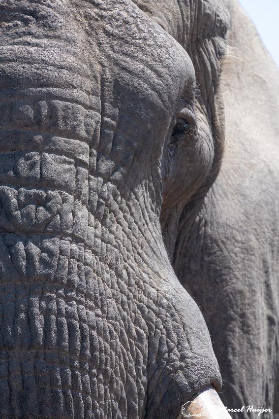 African bush elephant (Loxodonta africana), Addo Elephant Nation