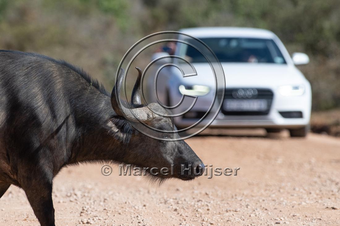 Cape buffalo (Syncerus caffer), Addo Elephant National Park, Eas
