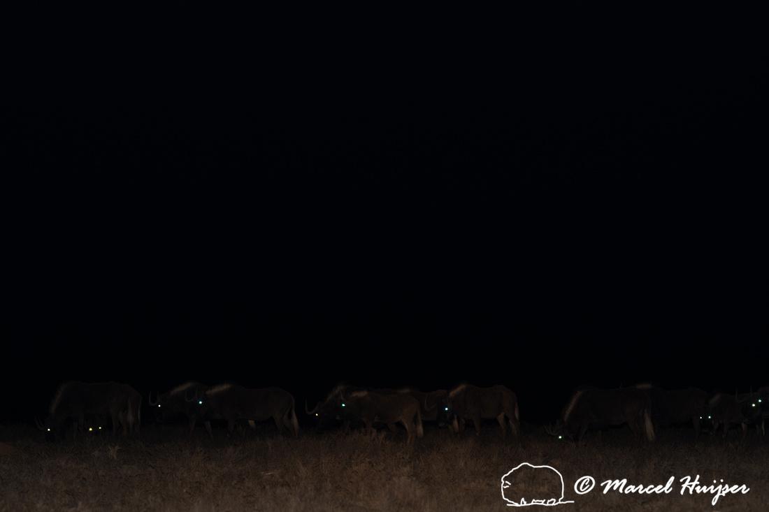 Black wildebeest (Connochaetes gnou), Mountain Zebra National Pa