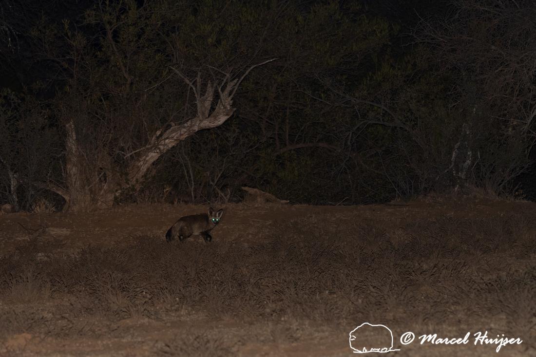 Bat-eared fox (Otocyon megalotis) , Mountain Zebra National Park