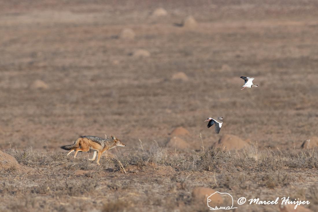 Black-backed jackal (Canis mesomelas) looking for nest of crowne